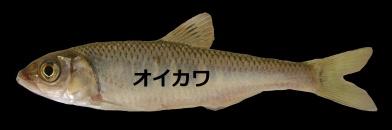 Oikawa1.jpg